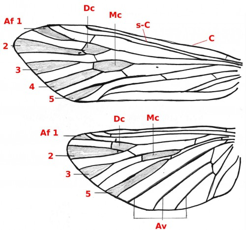 06 Trichoptera wing b30